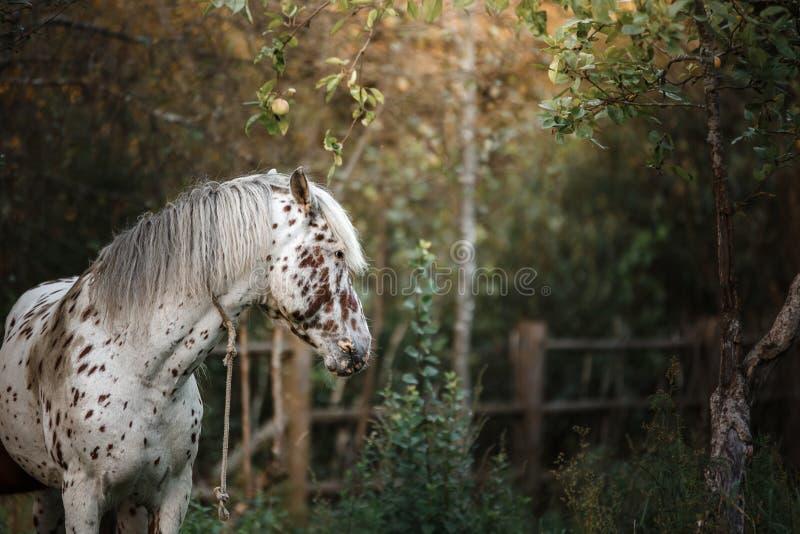 Weiß beschmutzter Pferdeportrait stockfotos