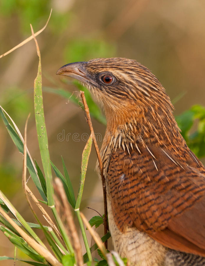 Weiß - browed Coucal stockfoto