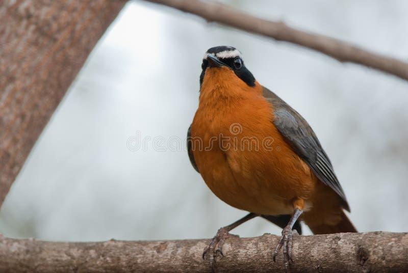 Weiß-Browed Robin-Chat lizenzfreie stockfotografie