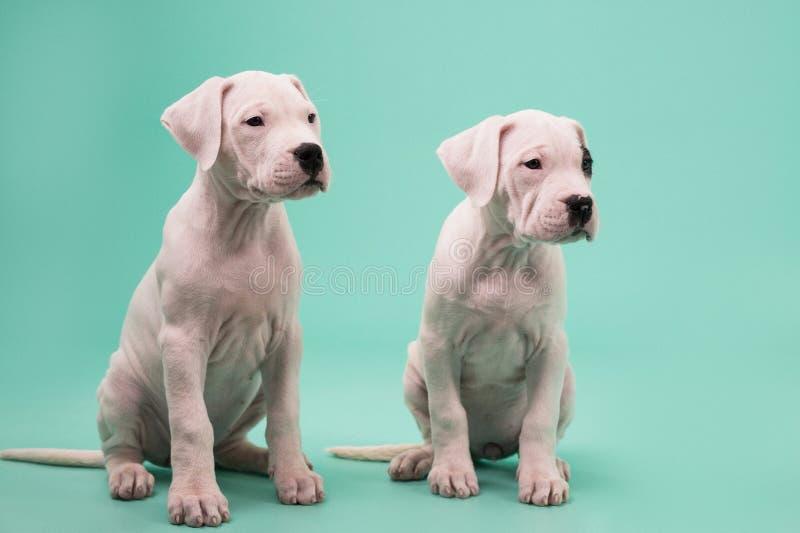 Weiß Dogo Argentino als Schnee lizenzfreie stockfotos