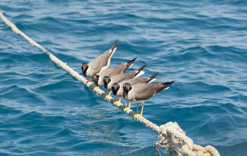 Weiß-gemusterte Seemöwen gehockt auf Seil lizenzfreie stockbilder