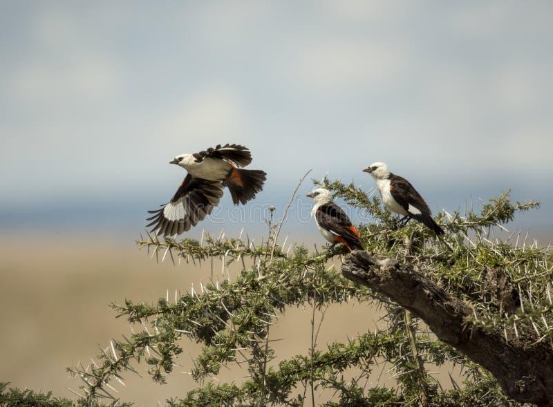 Weiß-gesichtige Büffelweber in Serengeti lizenzfreies stockfoto