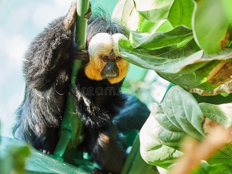 Weiß-gesichtiges Saki Monkey am Zoo lizenzfreies stockfoto
