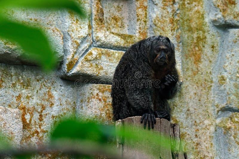 Weiß-gesichtiges Saki, Pithecia Pithecia, Detailporträt des Affen des dunklen Schwarzen mit Laterne, Tier im Naturlebensraum, wil lizenzfreie stockfotos