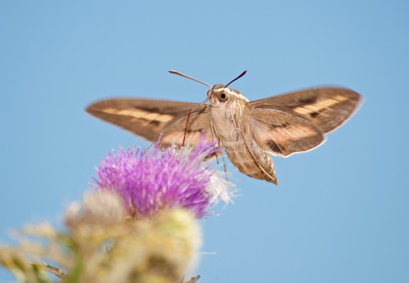 Weiß-Gezeichnete Sphinx-Motte im Flug lizenzfreie stockfotos