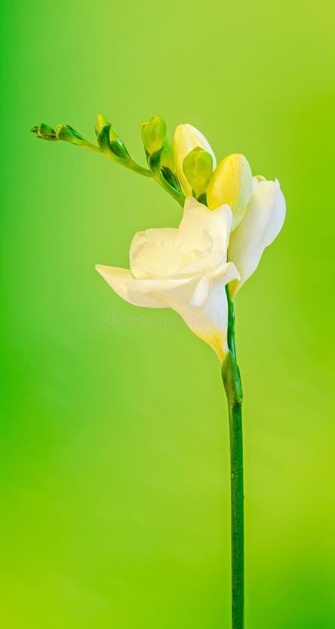 Weiß mit gelben Fresia-Blumen, mit den Knospen, Abschluss oben, grüner bokeh Hintergrund stockbilder