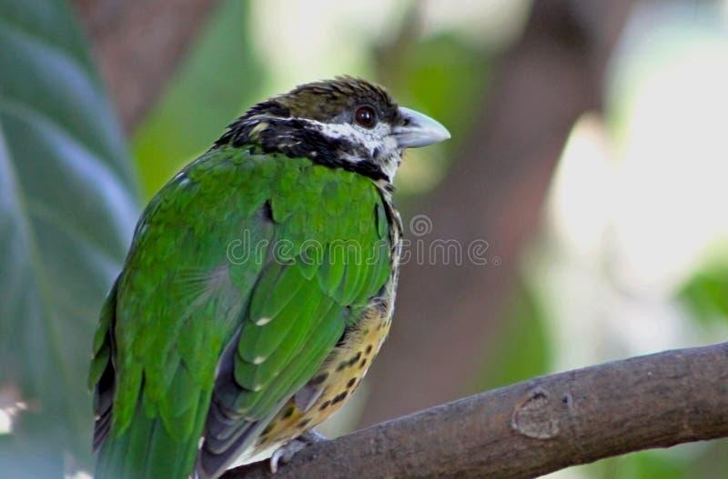 Weiß-ohriger Catbird, Vogel lizenzfreie stockbilder