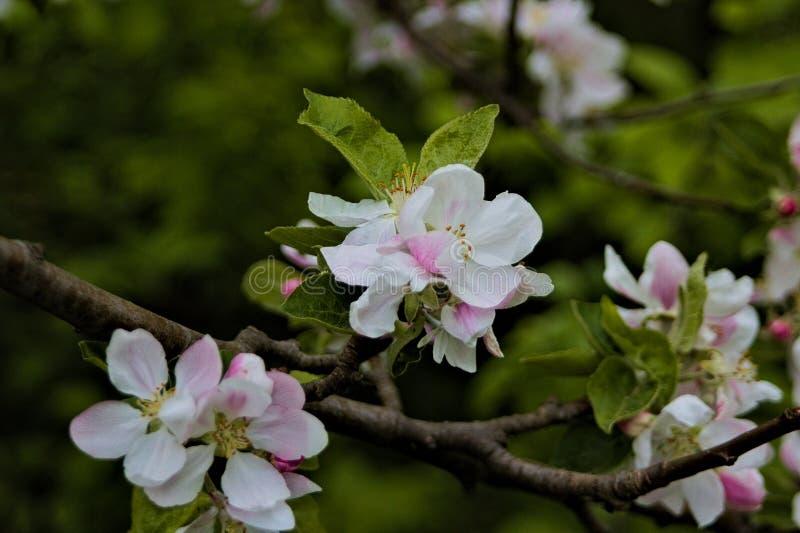 Weiß-rosa Blumen auf brauner Niederlassung mit grünen Blättern lizenzfreie stockfotografie