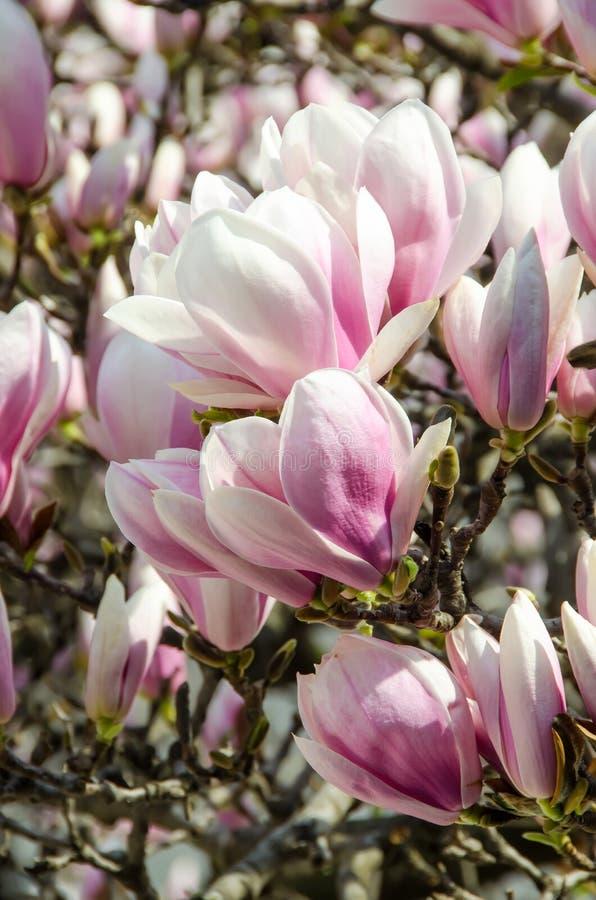 Weiß-rosa Blumen Der Magnolie Stockfoto - Bild von makro ...