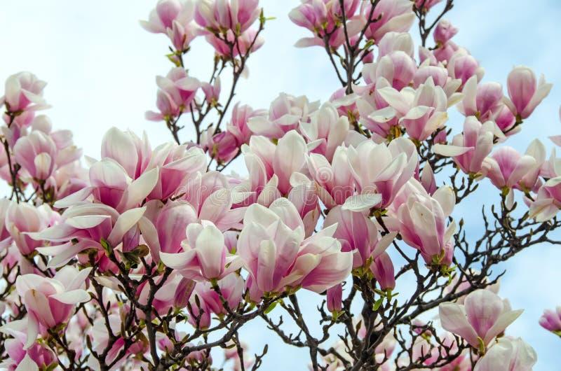 Weiß-rosa Blumen Der Magnolie Stockfoto - Bild von weiß, nahaufnahme ...