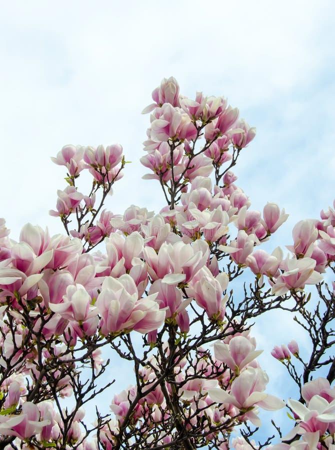 Weiß-rosa Blumen Der Magnolie Stockbild - Bild von weiß, pink: 39182297