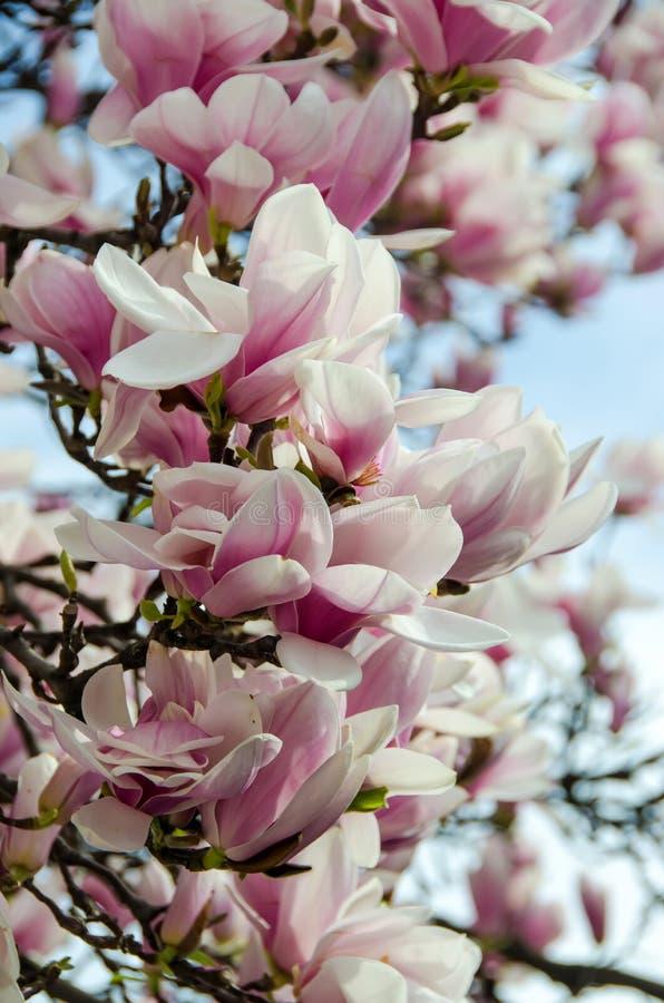 Weiß-rosa Blumen Der Magnolie Stockfoto - Bild von frech, baum: 39185762