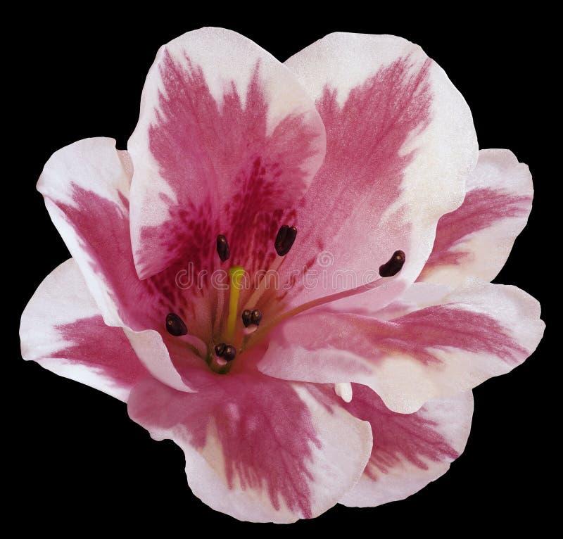 Weiß-rosa Blumenlilie auf dem Schwarzen lokalisierte Hintergrund mit Beschneidungspfad keine Schatten nahaufnahme stockbild