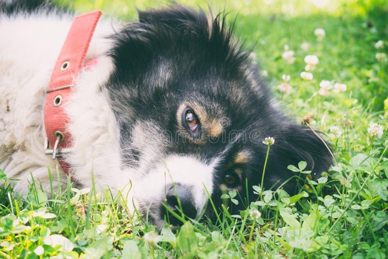Weiß-schwarz Karpaten-Hirte Hunde entspannen und sich auf dem Gras ausbreiten lizenzfreie stockfotografie