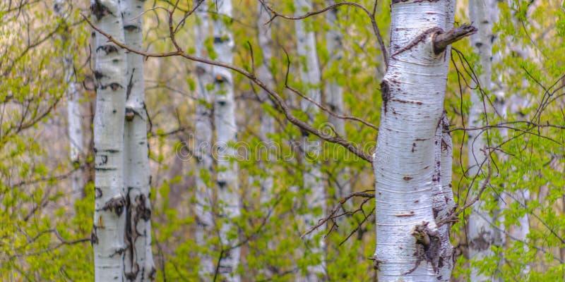 Weiß streifte Aspen-Bäume im Großen Frühlings-Park ab stockbild