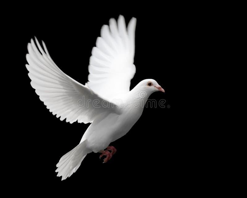 Weiß-Taube im Flug 1 stockbild