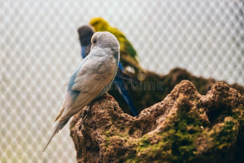 Weiß und Babyblau budgie, das auf einem Felsen steht stockbilder