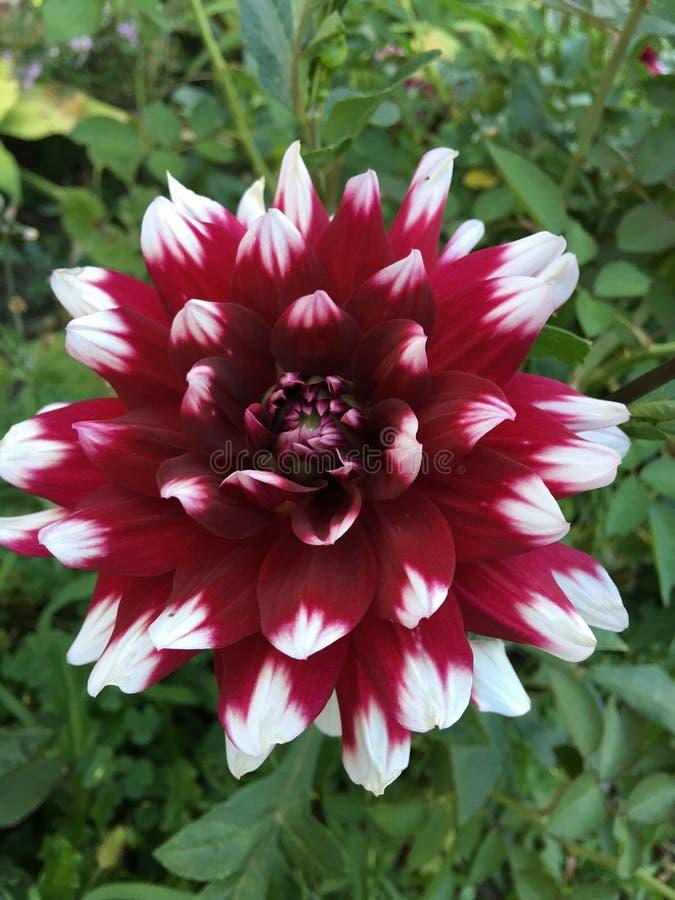 Weiß und Burgunder-Blume stockfoto