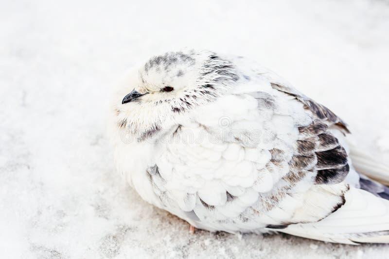 Weiß und Gray Pigeon Bird Freezing In-Kälte-Winter stockfotografie