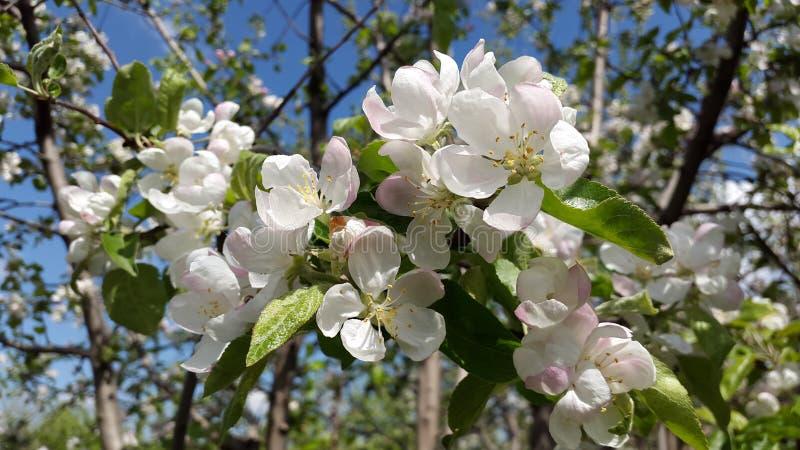 Weiß und rosig - Farben von Blumen des Apfelbaums stockfotografie