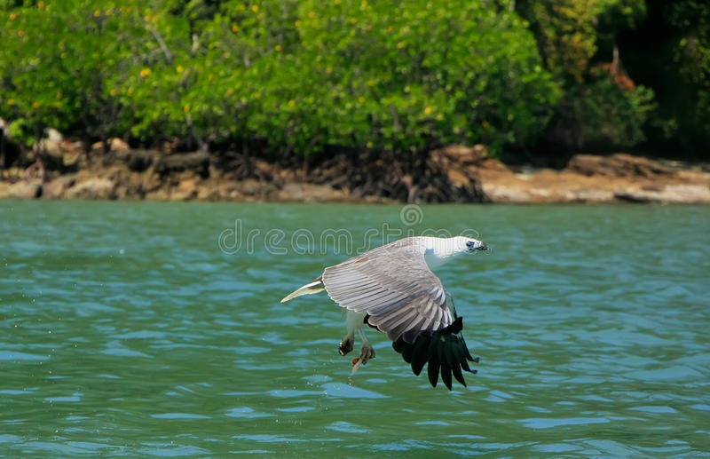 Weißbauch-Seeadler-Jagd, Langkawi-Insel lizenzfreie stockfotos