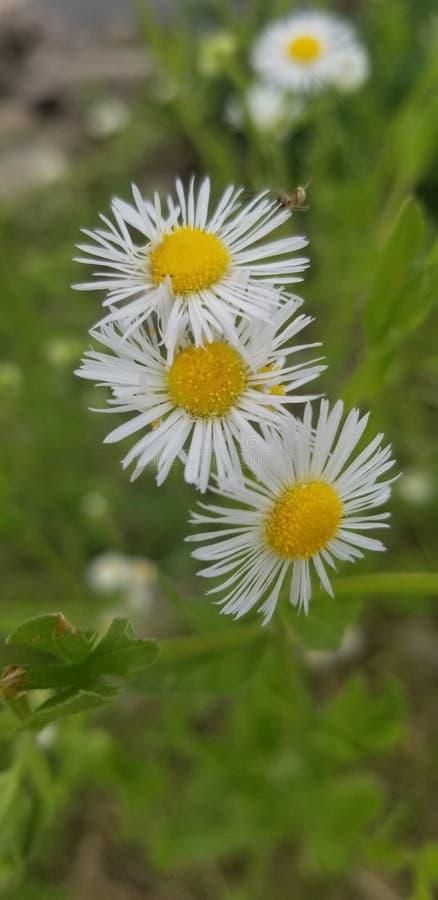 Weißblume lizenzfreie stockfotos