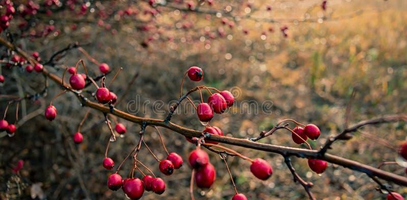 Weißdorn mit den Früchten bedeckt mit Tropfen des Herbstregenwassers Wir lizenzfreie stockfotos