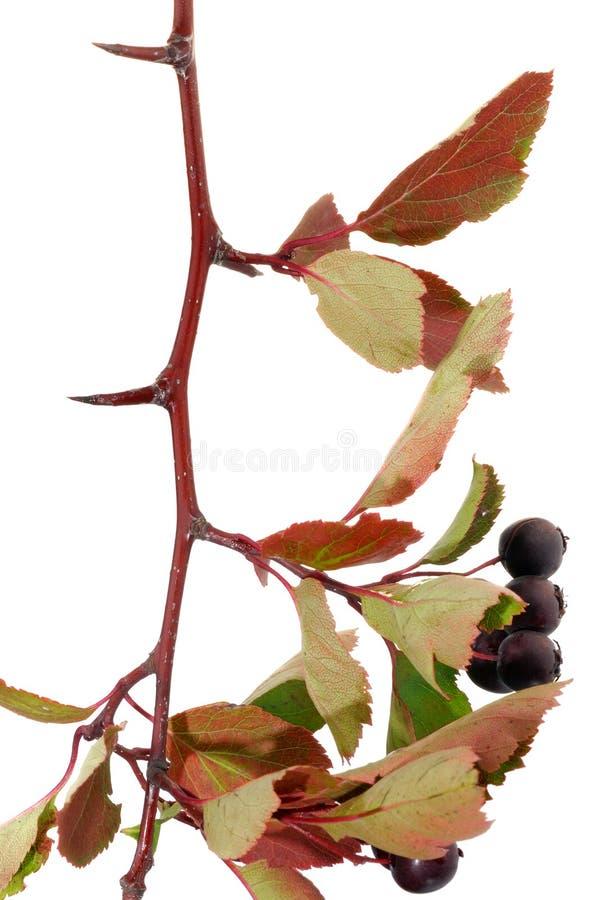 Weißdornzweig mit Beeren stockfoto