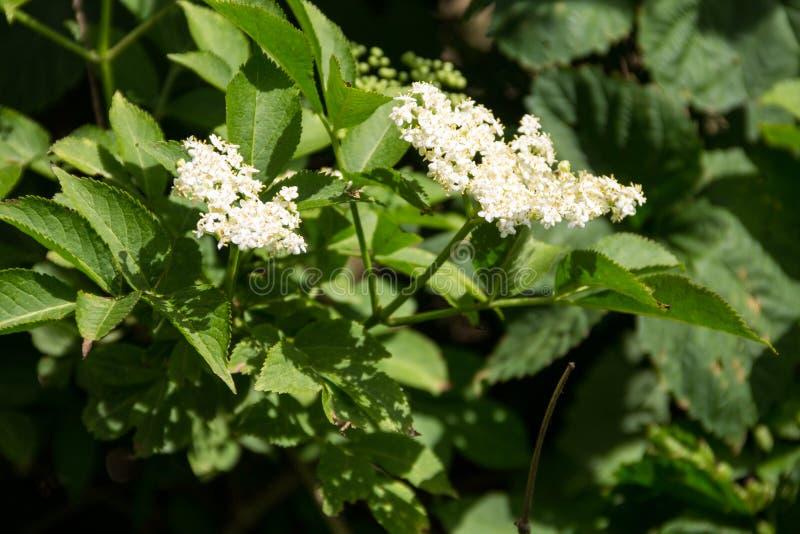 Weiße Ältestblüte stockfotografie