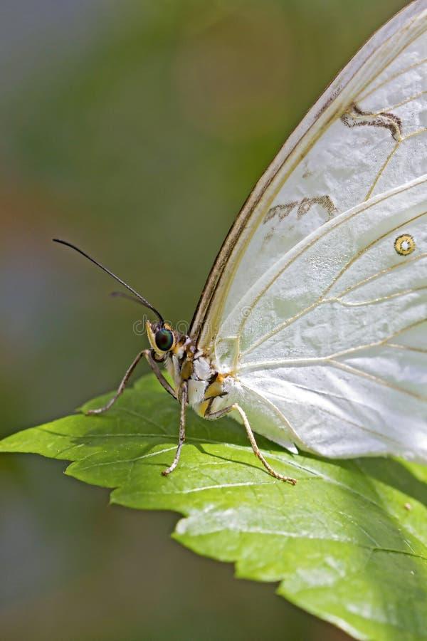Weiße afrikanische Motte stockfotos