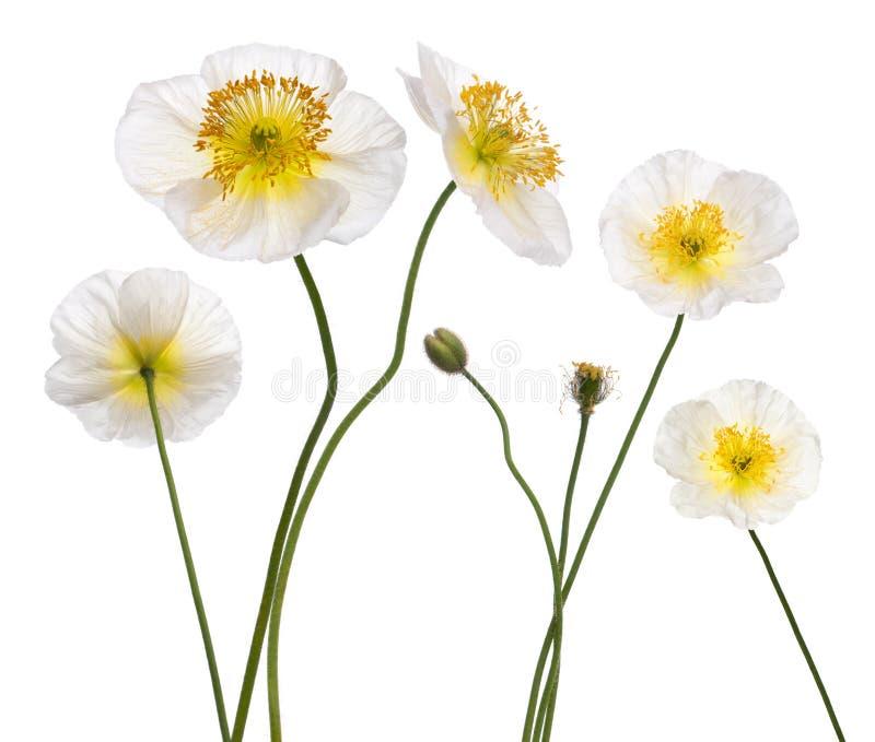 Weiße alpine Mohnblume, Papaver alpinum stockbild