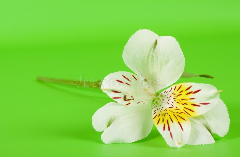 Weiße Alstroemeriablume auf einem Stiel stockbilder
