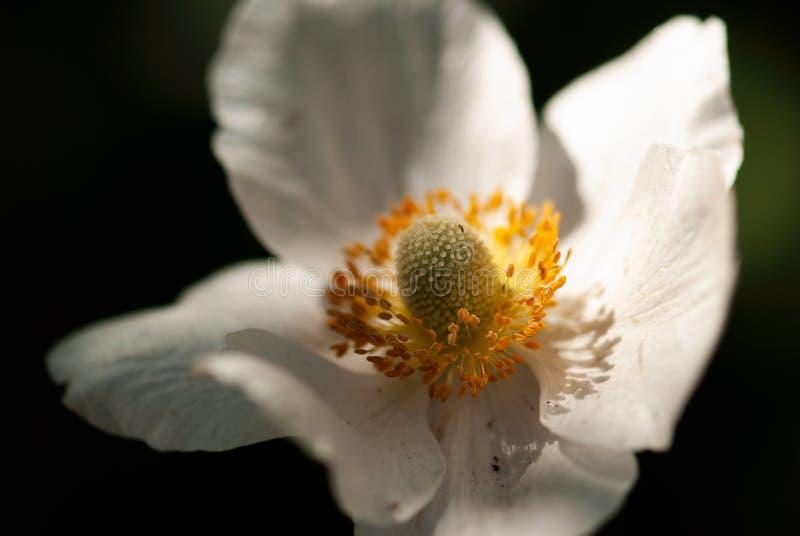 Weiße Anemone Macro stockfotografie