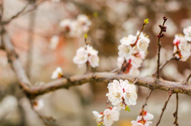 Weiße Aprikosenblüte Blühender Baum der Knospen im April Das Konzept des Frühlinges Natürlicher Hintergrund Tapete für Design Sel stockbild