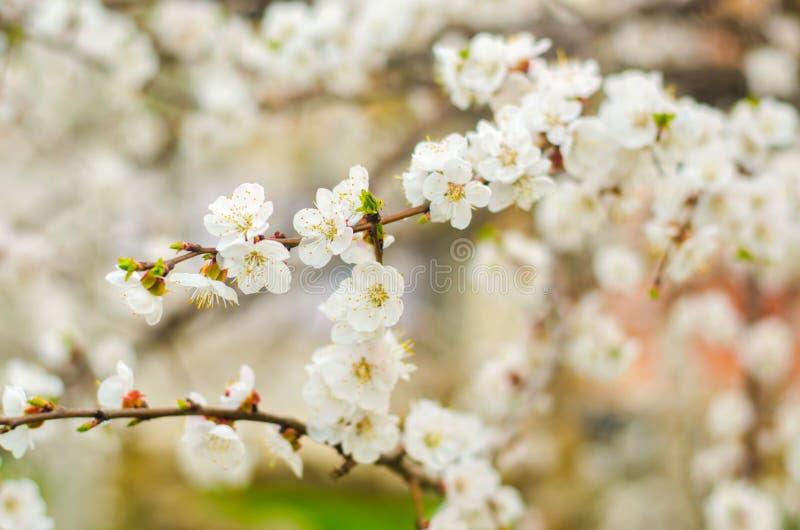 Weiße Aprikosenblüte Blühender Baum der Knospen im April Das Konzept des Frühlinges Natürlicher Hintergrund Tapete für Design Sel stockfotografie