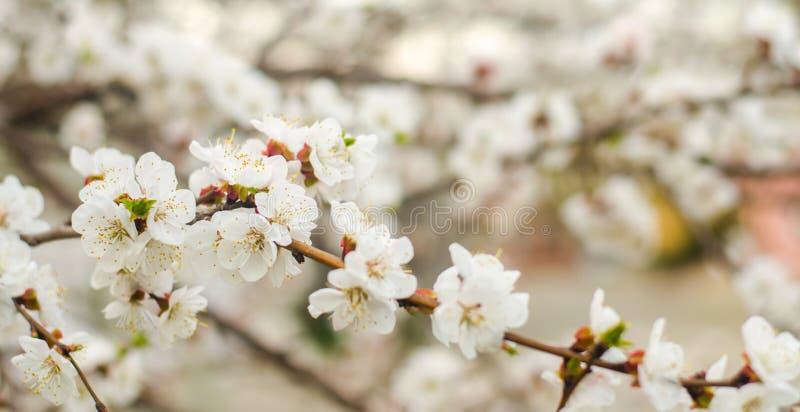 Weiße Aprikosenblüte Blühender Baum der Knospen im April Das Konzept des Frühlinges Natürlicher Hintergrund Tapete für Design Sel lizenzfreie stockfotos