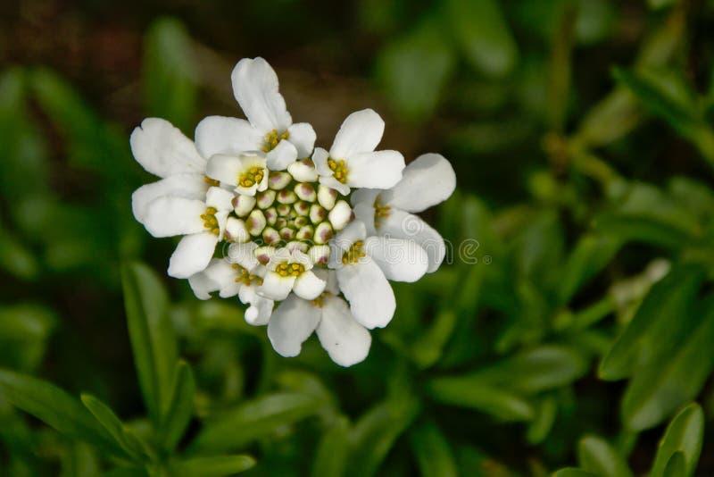 Weiße Arabidopsis-lyrata Blumen lizenzfreies stockbild
