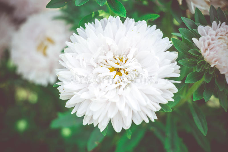 Weiße Asterblumen stockfotografie