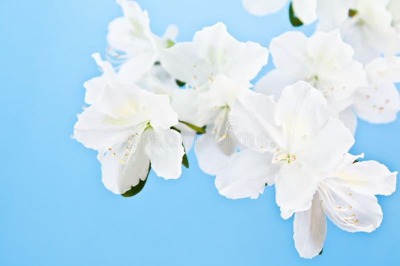 Weiße Azaleenblume auf blauem Hintergrund stockbilder