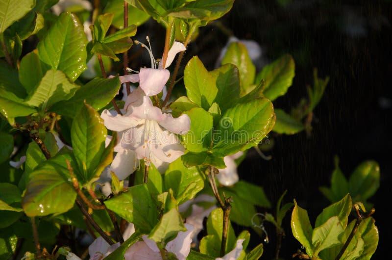 Weiße Azaleenblumen vor dem hintergrund der grünen Blätter lizenzfreie stockbilder