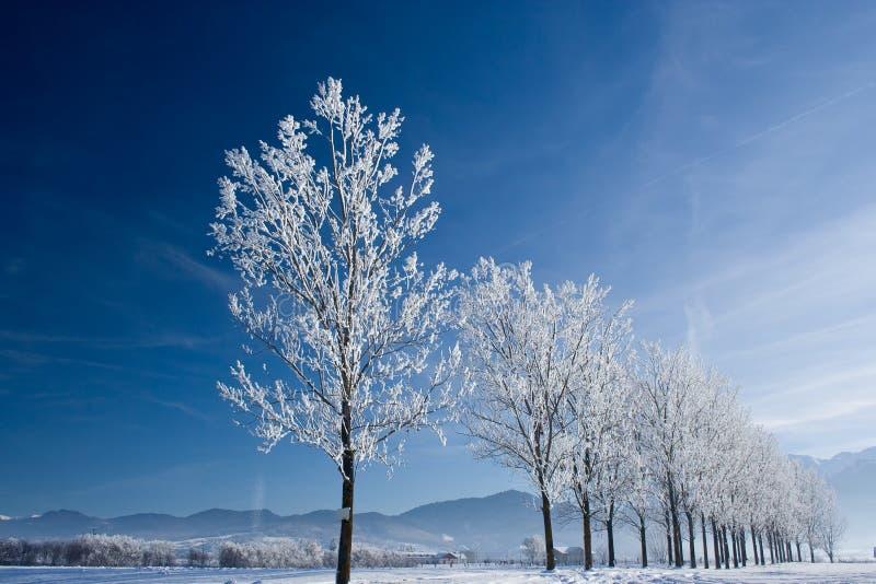 Weiße Bäume stockfoto