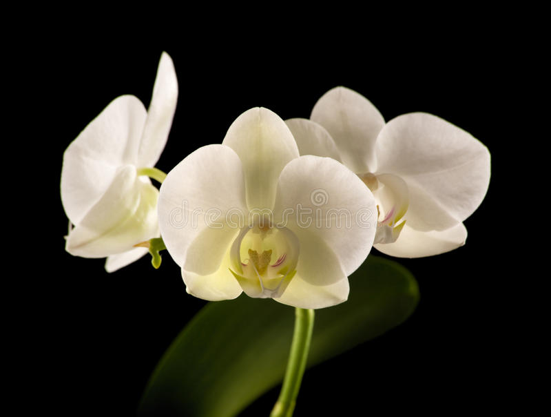 Weiße backlit Phalaenopsisorchidee stockbilder