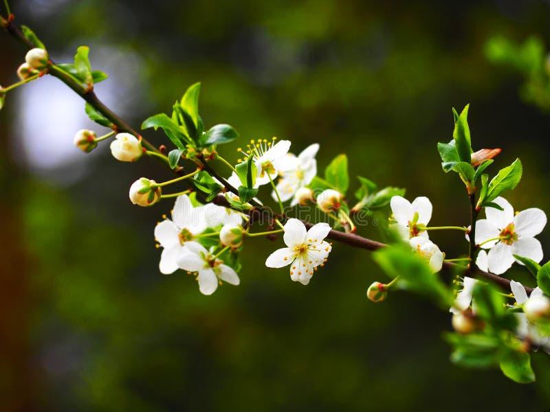 Weiße Baumblüte in der Sonne stockfoto