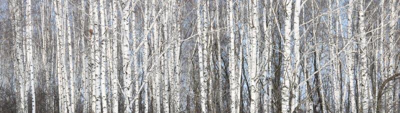 Weiße Birken in der Birkenwaldung lizenzfreie stockbilder