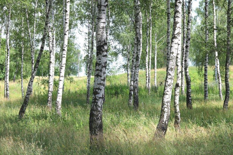 Weiße Birken im Sommer in der Birkenwaldung lizenzfreie stockbilder