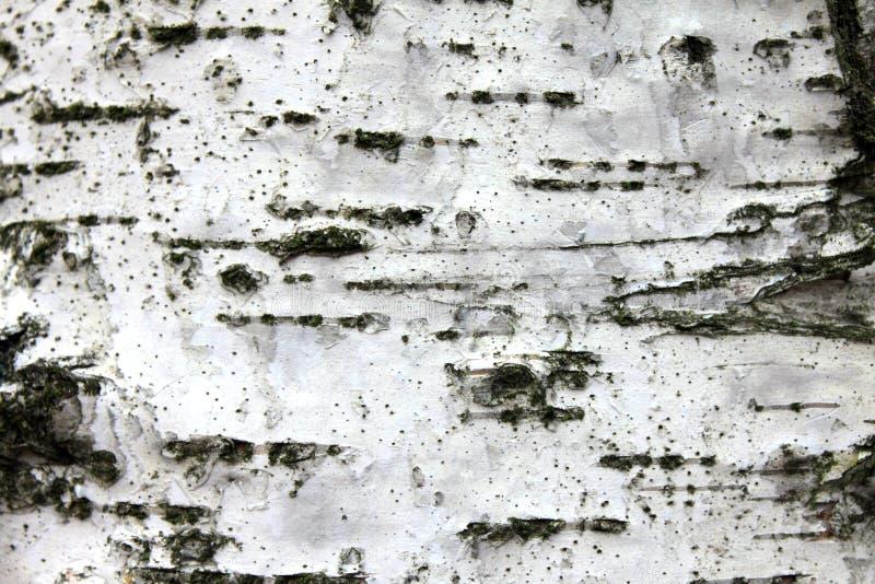 Weiße Birkenrinde, natürlicher Beschaffenheitshintergrund der Nahaufnahme stockfotos