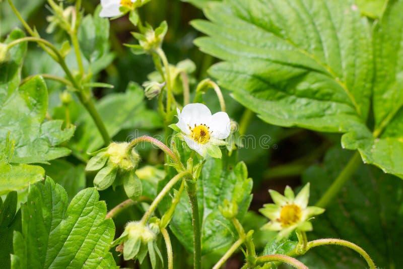 Weiße blühende Erdbeerblumen auf grünem Blatthintergrund im Garten lizenzfreie stockfotografie