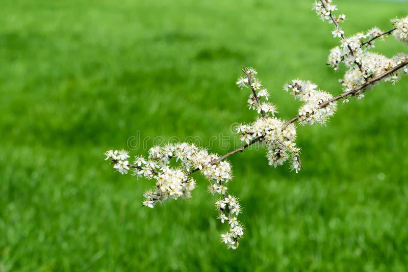 Weiße Blüte auf einem Baum lizenzfreies stockbild