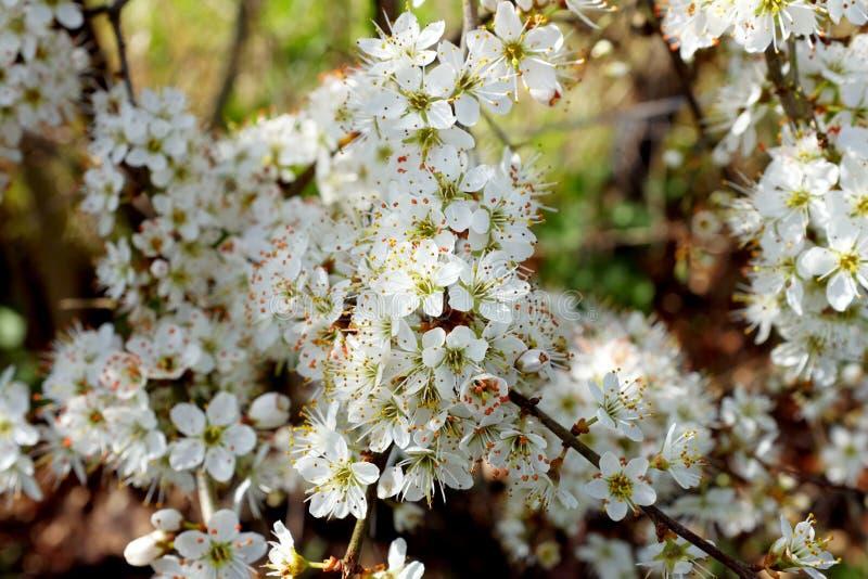 Weiße Blüte Auf Weißdornhecke Im Frühjahr Stockbild - Bild von baum ...