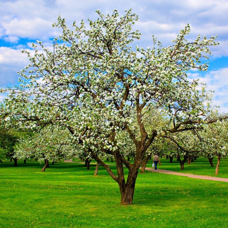 Weiße Blüte der Apfelbäume stockfoto